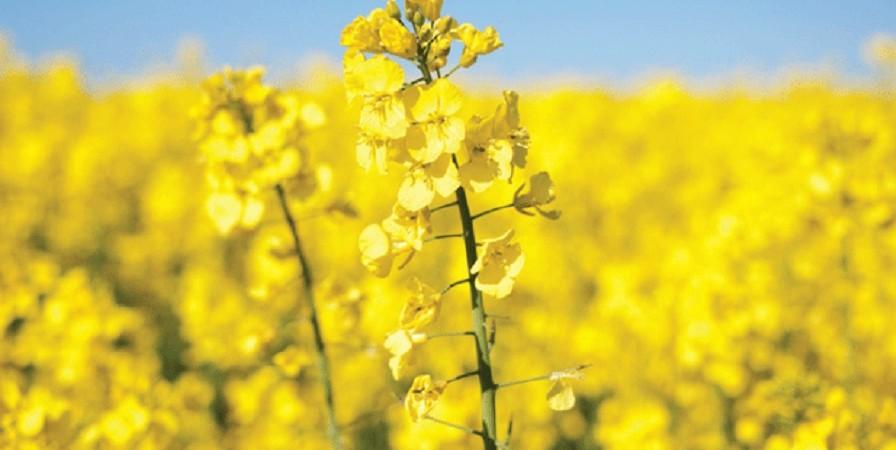 مجری طرح دانههای روغنی خبرداد: تولید ۳۴۰ هزارتن دانه روغنی کلزا