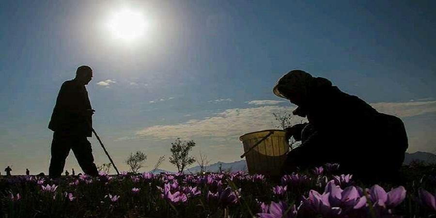 پایان برداشت زعفران تا ۲۰ روز دیگر/ حداقل و حداکثر قیمت در بازار