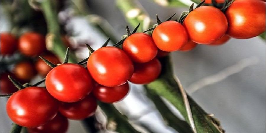 تولید ۴۲ تن گوجهفرنگی در یک هکتار توسط کارشناسان کشاورزی پاکستان
