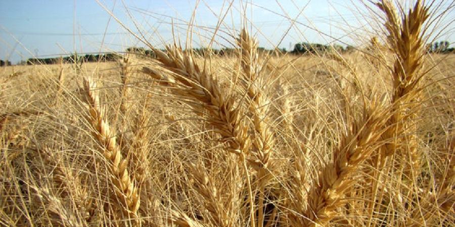 ۹ هزار تن گندم از کشاورزان خریداری شد