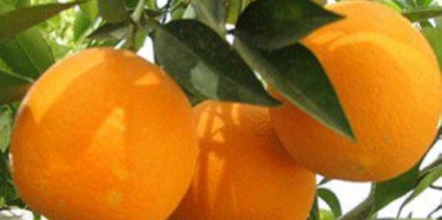 از پرتقال یخی تا پرتقال زیادی در مازندران!