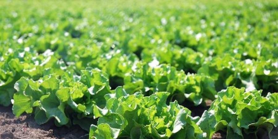 هرمزگان درتولید سبزی وصیفی خارج از فصل در کشور پیشتاز است