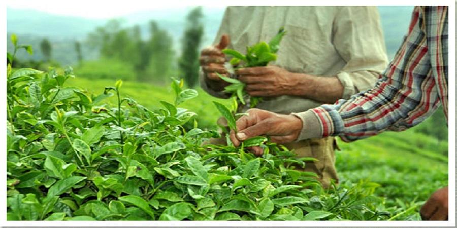 رئیس سازمان چای: پرداخت صددرصد مطالبات چایکاران/ ۱۳هزار تن چای صادر شد