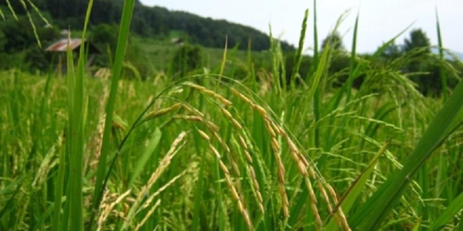 برنج با ساقه ای دو متری برای نخستین بار