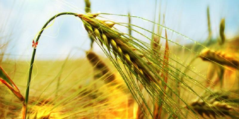 خودکفایی تولید گندم کشور در معرض تهدید قرار گرفت