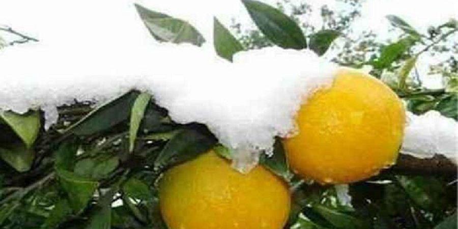 خسارت دهها میلیارد تومانی سرمازدگی به باغداران زنجان