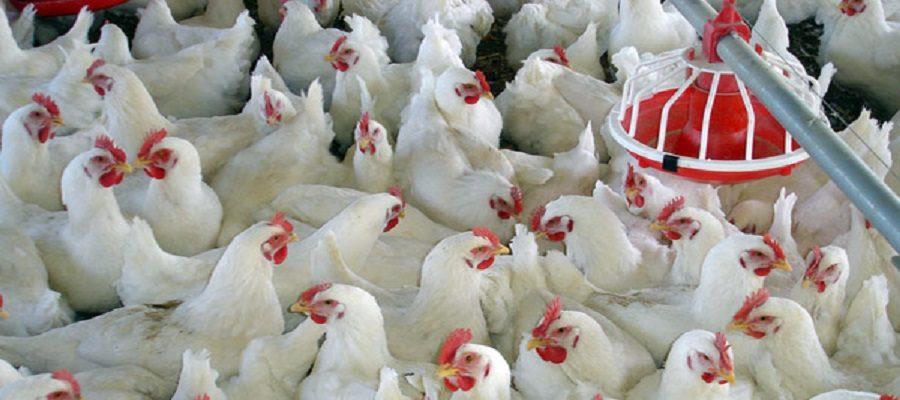مدیرعامل اتحادیه مرغداران گوشتی کشور: ۵۲۰۰ واحد مرغداری گوشتی از چرخه تولید خارج شد