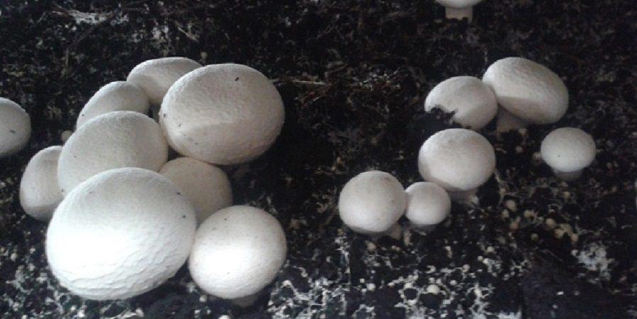 دانش تولید بذر قارچ به کشور انتقال یافت
