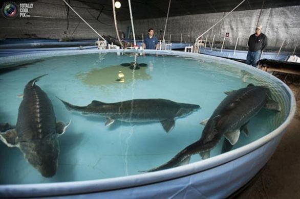 صید ماهیان خاویاری دریای خزر تا سال ۲۰۲۰ ممنوع است