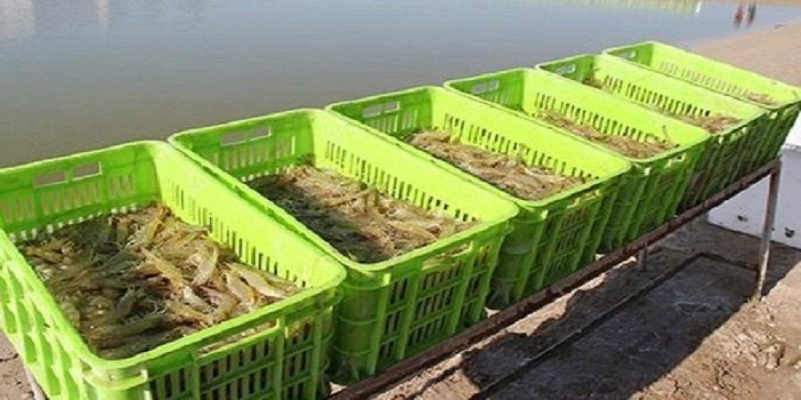 پایان فصل صید میگو در آبهای هرمزگان