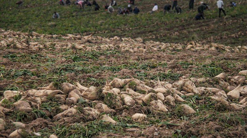 مجری طرح چغندرقند و نیشکر کشور: وزارت جهاد کشاورزی برای کاهش هزینه حمل چغندرقند ورود کرد