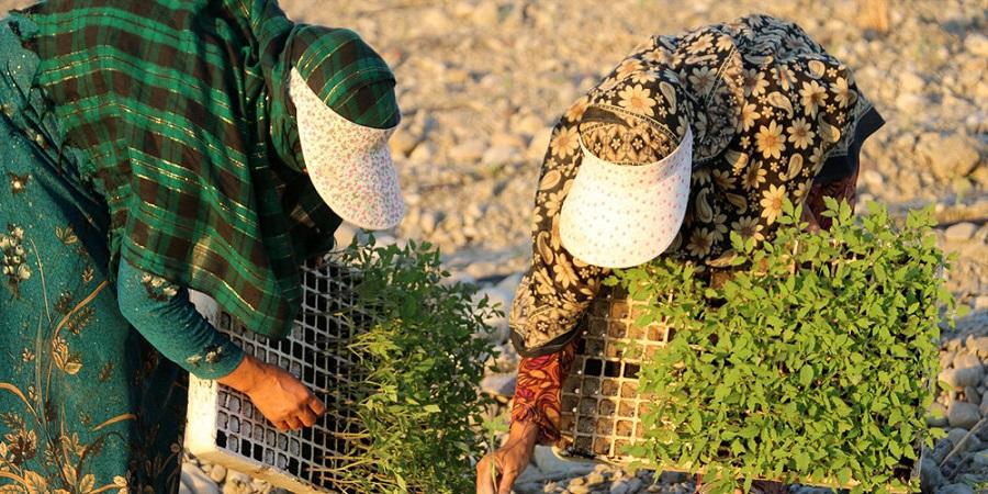 مدیر کل دفتر توسعه صادرات وزارت جهاد : پیگیری وزارت خارجه درباره ممنوعیت واردات محصول جالیزی به عراق
