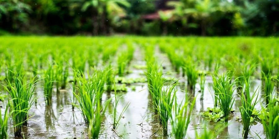 تولید پروتئین انسانی آلبومین از گیاه برنج