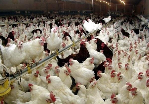 مدیرعامل اتحادیه مرغداران گوشتی کشور: صنعت مرغ گوشتی در یک ماه ۵۸۰ میلیارد تومان ضرر کرد