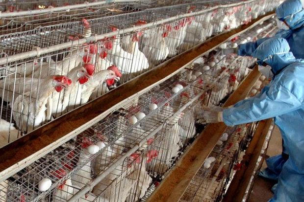 وضعیت ابتلای انسان به آنفلوانزای پرندگان/هشدار به افراد در خطر