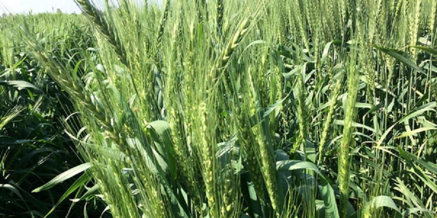 ۹۰ درصد از بذر هیبرید کلزای کشور در خوزستان تولید میشود+ تصاویر