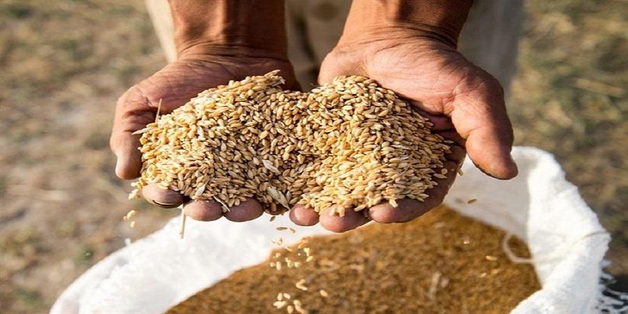 مجری طرح گندم: خودکفایی گندم برای چهارمین سال متوالی/ تولید گندم به ۱۴ میلیون تن میرسد