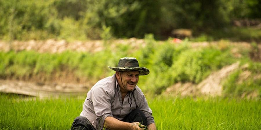 ابلاغ ممنوعیت کشت برنج در غیر از استانهای شمالی/ الگوی کشت تا سال آینده اجرا میشود