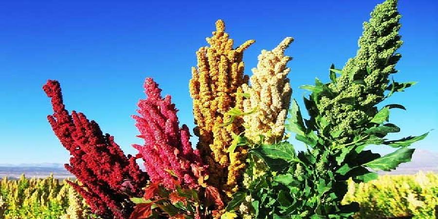 خاویار گیاهی کویر را بشناسیم