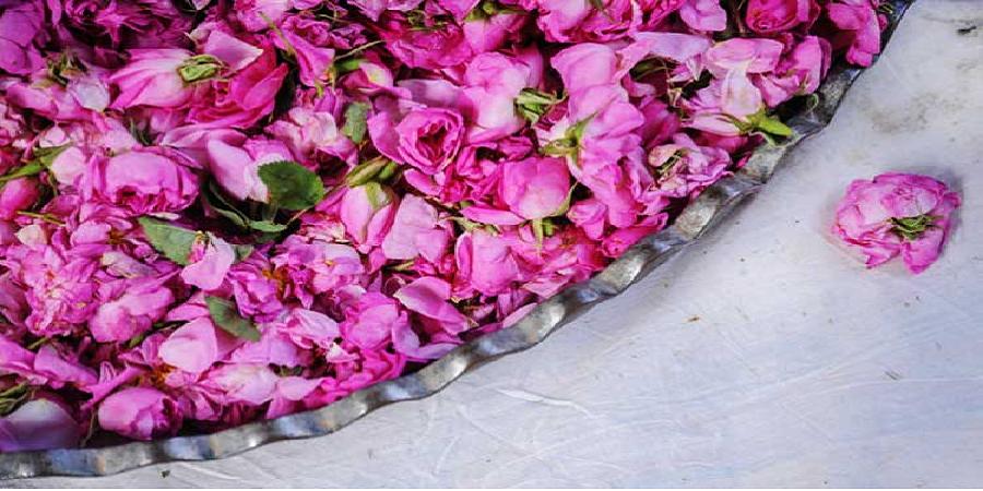 ۳۷۷.۵ تن محصول گل محمدی در یزد برداشت شد