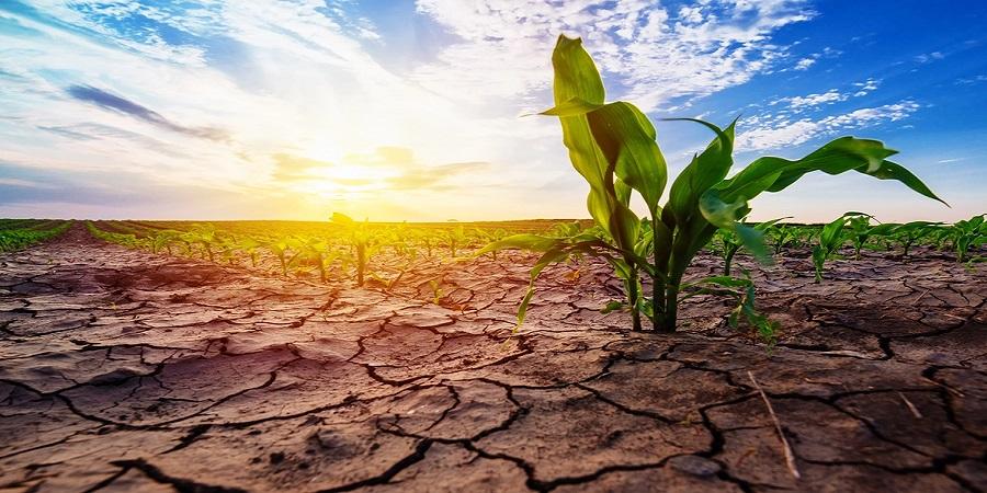 پنج محصول کشاورزی مؤثر در تشدید خشکسالی کدامند؟
