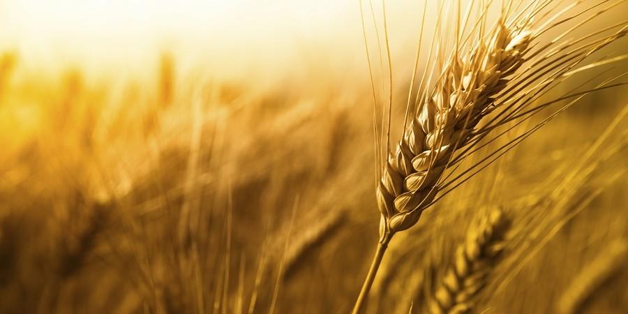 کاهش ۴ دلاری قیمت گندم در بازارهای جهانی