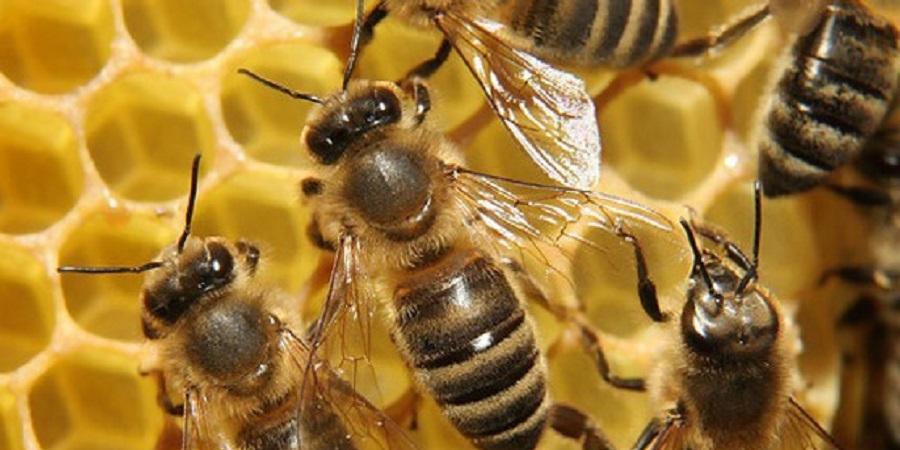 نماینده  فائو: ایران از کشورهای پیشرو در تولید عسل است