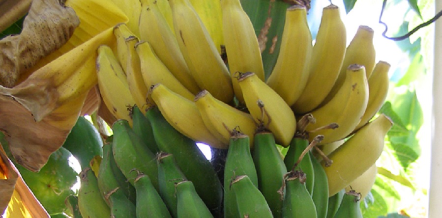دولت تصویب کرد/ صدور مجوز واردات موز، آناناس و انبه در ازای صادرات سیب درختی