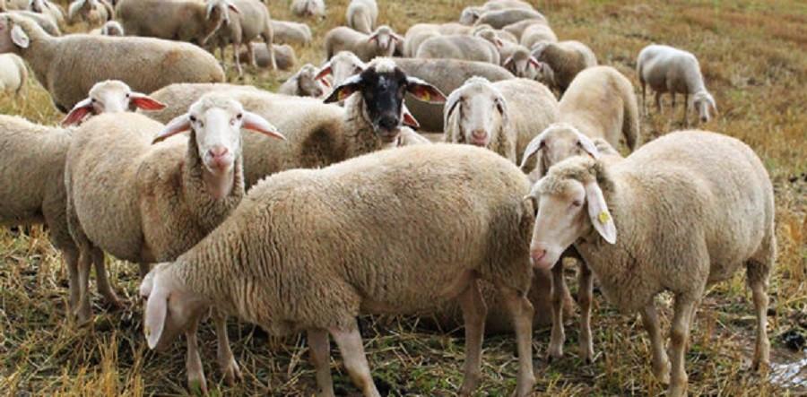 رئیس اتحادیه گوشت گوسفندی اعلام کرد: قیمت هر کیلو دام زنده گوسفندی در ایام محرم، ۴۶ هزار تومان
