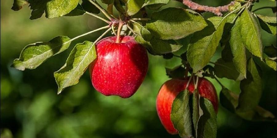 پیشبینی صادرات ۳۵۰ هزار تن سیب از کشور طی سال جاری