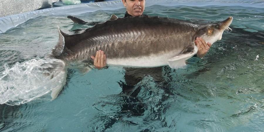 احتمال تمدید دوباره ممنوعیت صید ماهیان خاویاری دریای خزر در یکماه آینده