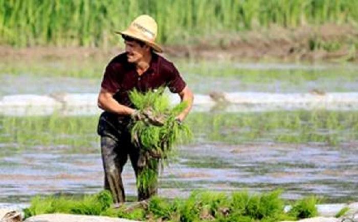 برنج ایرانی به چه قیمتی از کشاورز خریداری میشود؟