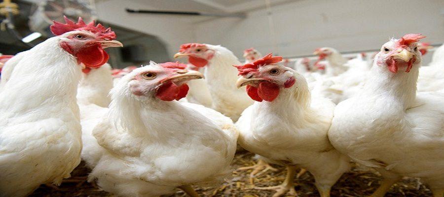 مشاهده آنفلوآنزای فوق حاد پرندگان در سه استان کشور