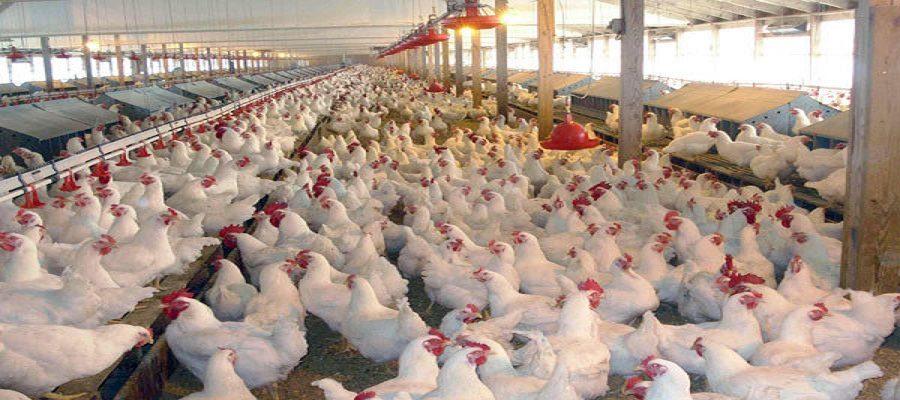 در بهار ۹۹؛ تورم تولیدکننده مرغداری ها به ۱۳ درصد رسید