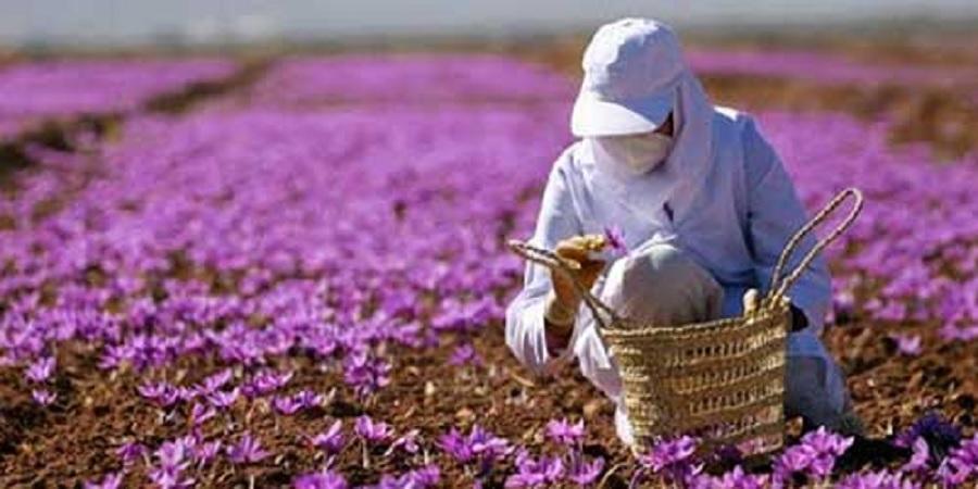 مشاور وزیر جهاد کشاورزی: امسال ۴۳۰ تن زعفران تولید میشود