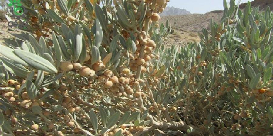 آشنایی با گیاه پنیر باد withania samnifera