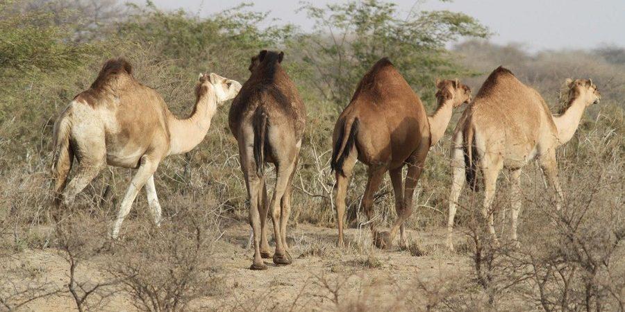 واردات دام از مرزهای سیستان و بلوچستان شتاب میگیرد