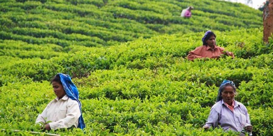 صادرات چای هند به ایران ۲.۵ برابر شد
