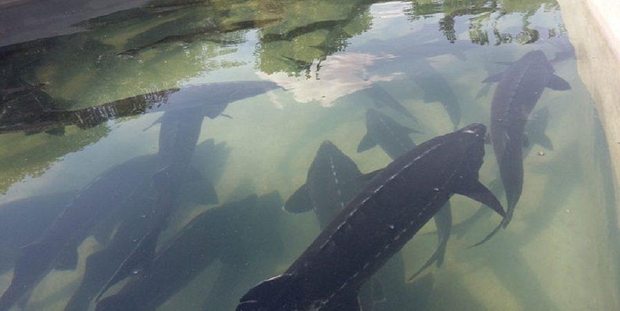 شیلات ایران: ذخایر ماهیان خاویاری خزر بهبود نیافته است