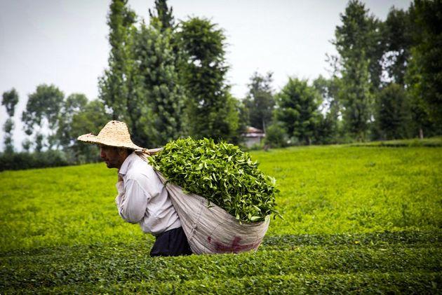 چرا چای بیشترین افزایش قیمت را در سال گذشته تجربه کرد؟