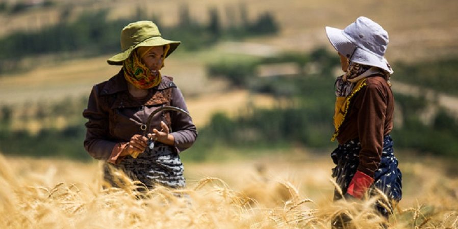 کشت گندم در ۴۲ هزار هکتار از مزارع دزفول آغاز شد