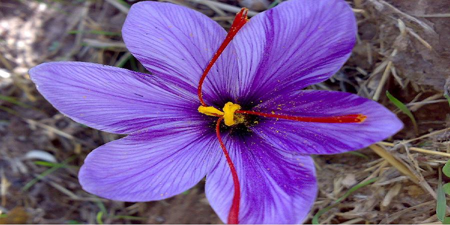 قیمت هرکیلوگرم زعفران ۱۰ تا ۱۱.۵ میلیون تومان شد