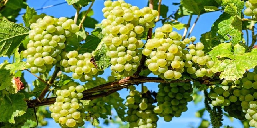 تلاش ۲۰ ساله محققان دانشگاه تهران در تولید ۸ رقم انگور بیدانه حبه درشت صادراتی