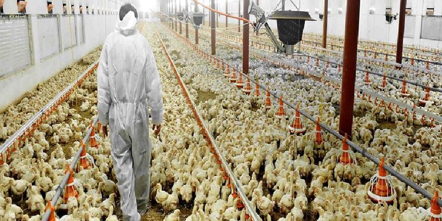 با تلاش یک شرکت دانشبنیان محقق شد/ بهرهمندی ۱۵ استان کشور از نانو محلول ضدعفونیکننده دام و طیور