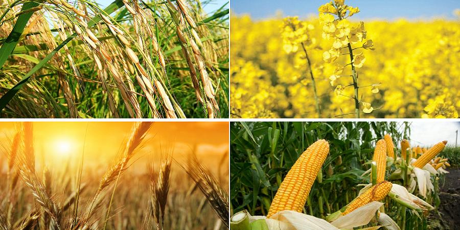 نایب رئیس بنیاد ملی گندمکاران: افزایش نرخ خرید تضمینی محصولات کشاورزی قطعی است