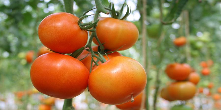 رئیس اتاق بازرگانی بوشهر: زمینه عرضه مستقیم گوجه فرنگی بوشهر در استانهای دیگر فراهم شود